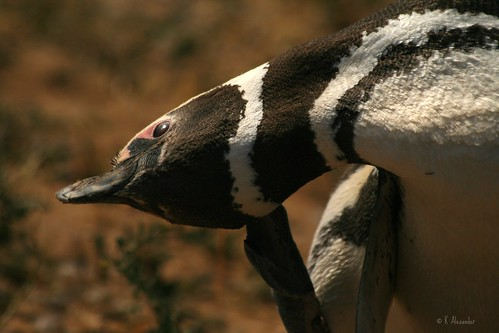 Magellanic penguin in Argentina by Kalexander2010