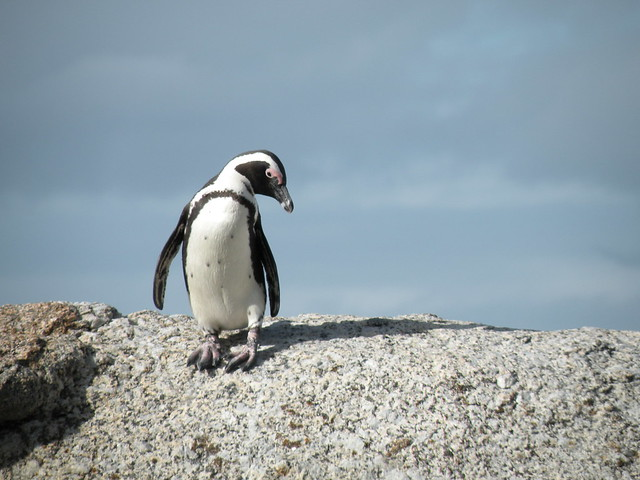 African Penguin relaxing in Boulders Beach
