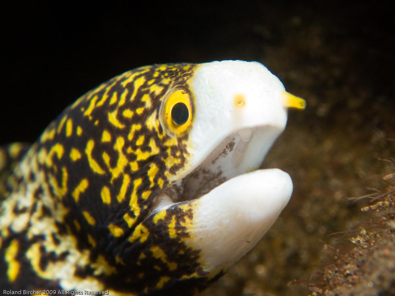 Snowflake Moray Eel - a photo on Flickriver
