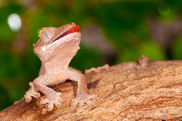 Rhacodactylus ciliatus - Crested Gecko