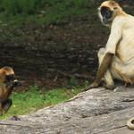 Ateles geoffroyi Black-handed Spider Monkey