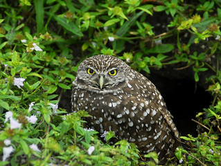 Burrowing Owl (16) - Copy