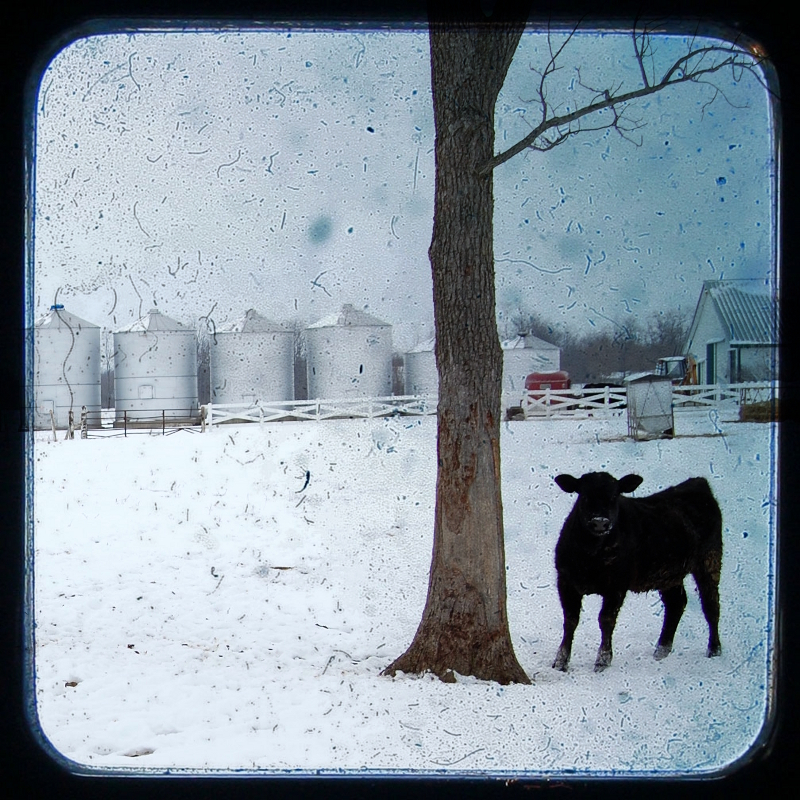 Calf in the Snow