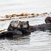 3 of 4 Sea Otter (Enhydra lutris) (marine mammal) Mother with Pup