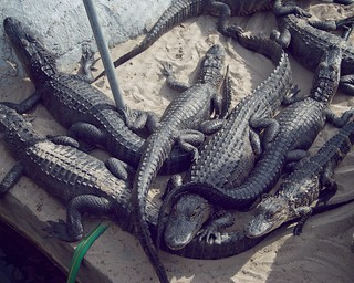 Image of Gator Golf. geotagged orlando nikon florida gator alligator 18g d80