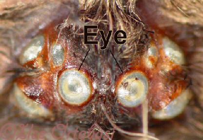 Tarantula Eyes Tarantula Eyes Macro