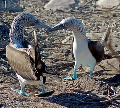 animal, wing, fauna, booby, blue, beak, bird, wildlife,