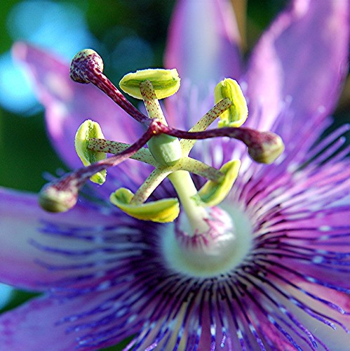 Dazzling purple Passion Flower proclaims its fertility