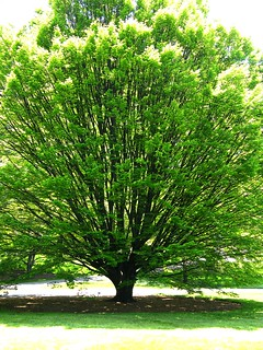Green Tree in Spring