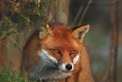 British Red Fox