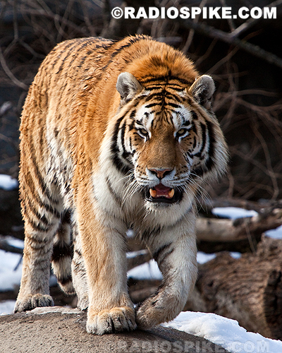 the largest of all wild cats | Flickr - Photo Sharing!