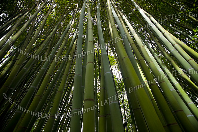 for t de bambous phyllostachys viridis flickr photo. Black Bedroom Furniture Sets. Home Design Ideas