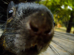 animal, rodent, fauna, whiskers, chinchilla, wildlife,