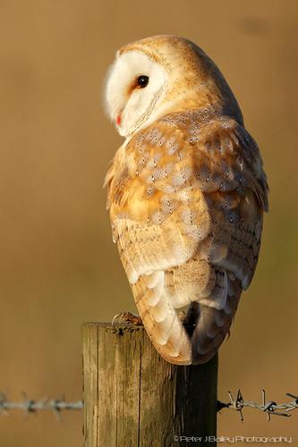 Barn Owl tyto alba by peterjbailey
