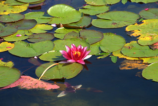 Lotus in the lake
