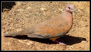 Turkish Dove...