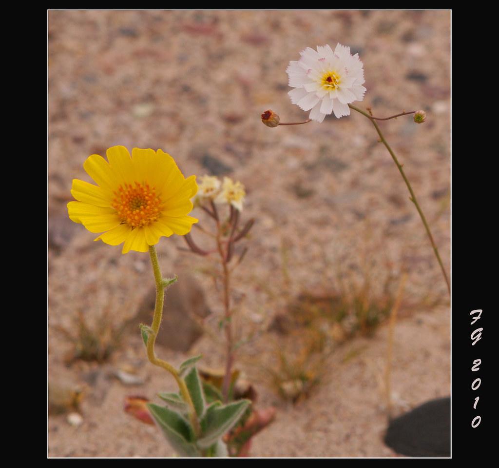Spring valley flower spring valley beautiful wedding flowers death valley spring flowers mightylinksfo