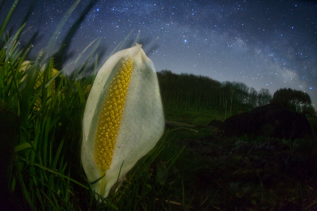skunk cabbage in a galaxy