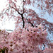 brooklyn, prospect park, botanical gardens, sakura (everyone hates a tourist, part twenty-nine)