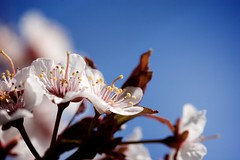 Photograph: Cherry Blossoms
