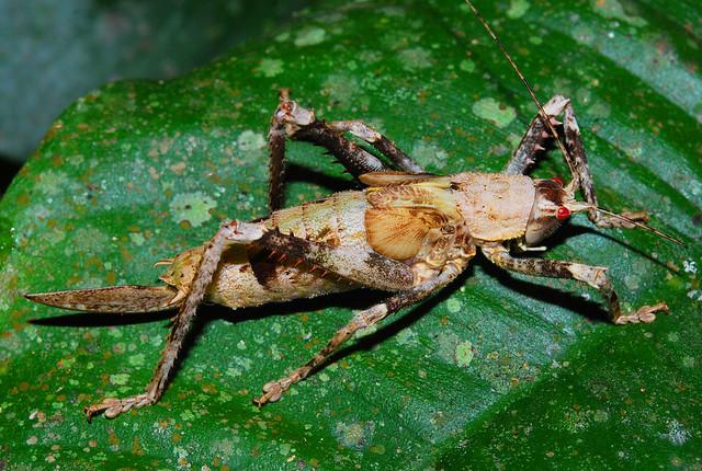 Acanthodis sp juvenile