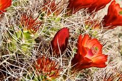 Claret Cup Cactus Blooms ~ Joshua Tree