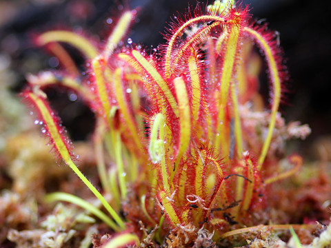 Sundew Plant Images Drosera Sundew Plant by