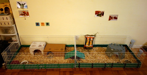 Customized guinea pig habitat