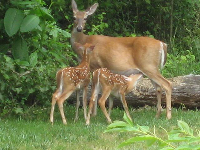 mother deer and baby deer 013 | Flickr - Photo Sharing!