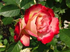 rosa gallica(0.0), rosa rugosa(0.0), annual plant(1.0), garden roses(1.0), rosa 㗠centifolia(1.0), floribunda(1.0), flower(1.0), plant(1.0), flora(1.0), rosa chinensis(1.0), petal(1.0),
