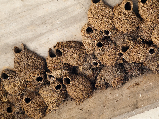 Swallows Nests | Cliff swallows' mud nests under a bridge in ...