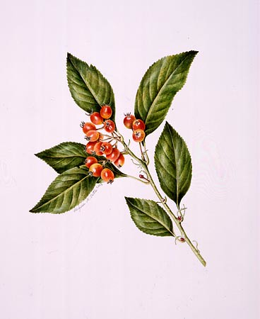 "Virginia Tuttle, Crataegus × lavallei Watercolor, 20"" × 16"". © Copyright Brooklyn Botanic Garden"