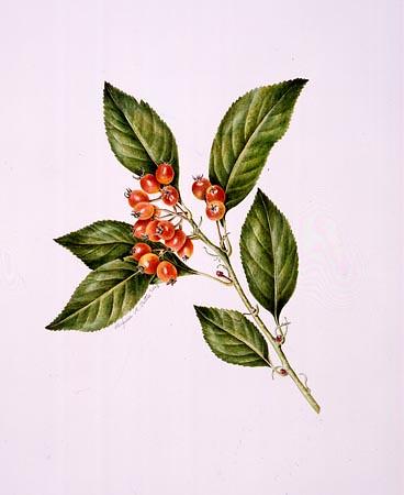 "Virginia Tuttle, Crataegus × lavallei Watercolor, 20"" × 16"". © Copyright Brooklyn Botanic Garden"
