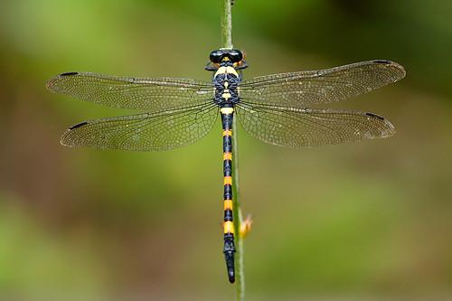 8379 - Macrogomphus quadratus (Forktail)