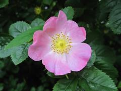 blossom(0.0), rosa rugosa(0.0), annual plant(1.0), flower(1.0), rosa gallica(1.0), plant(1.0), rosa rubiginosa(1.0), flora(1.0), rosa acicularis(1.0), petal(1.0),