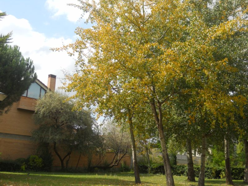 Álamos en otoño