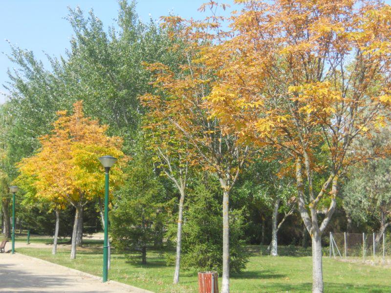Castaño de indias en otoño 9