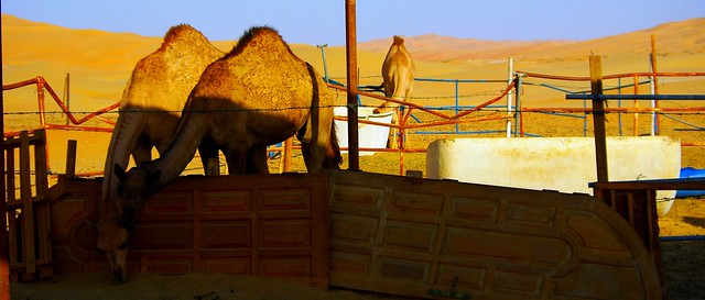 Camel farm in Liwa Desert