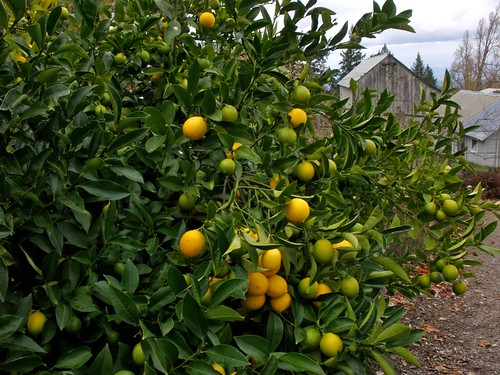 Lemon Tree very pretty