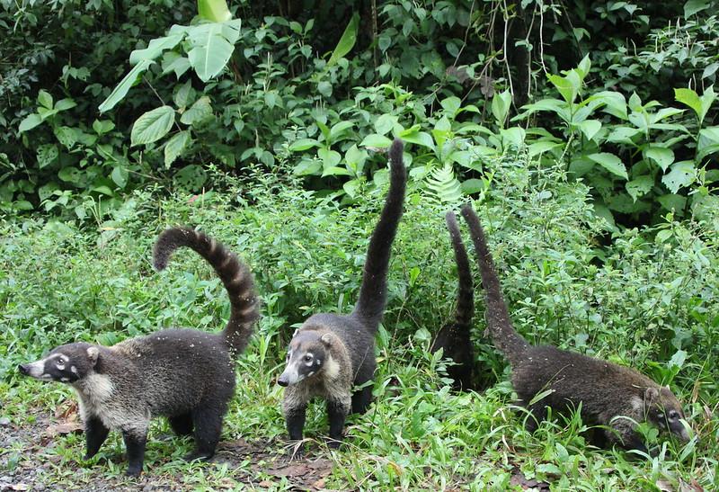Coati Cuties