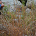 Andropogon gerardii- Big Bluestem Grass