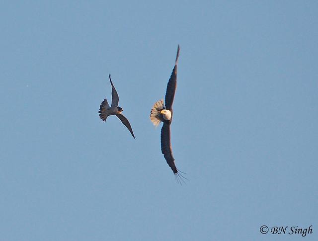 Falconiformes. sub Falconidae - sub fam Falconinae - gênero Falco - Página 2 4247200316_2d7bfc4a9c_z
