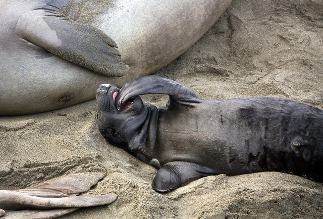 Baby Elephant Seal | Explore Rob DeGraff's photos on ...