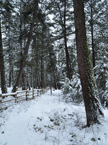 park trees winter white snow canada pine fence photo moss nikon published photographer bc britishcolumbia okanagan picture photograph okanaganvalley regionalpark peachland copyrightimages trepaniercreekgreenwayregionalpark trepaniercreek trepaniercreekgreenway taniasimpson