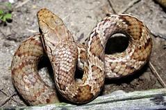 grass snake(0.0), garter snake(0.0), kingsnake(0.0), animal(1.0), serpent(1.0), eastern diamondback rattlesnake(1.0), snake(1.0), boa constrictor(1.0), reptile(1.0), hognose snake(1.0), fauna(1.0), viper(1.0), rattlesnake(1.0), sidewinder(1.0), scaled reptile(1.0),