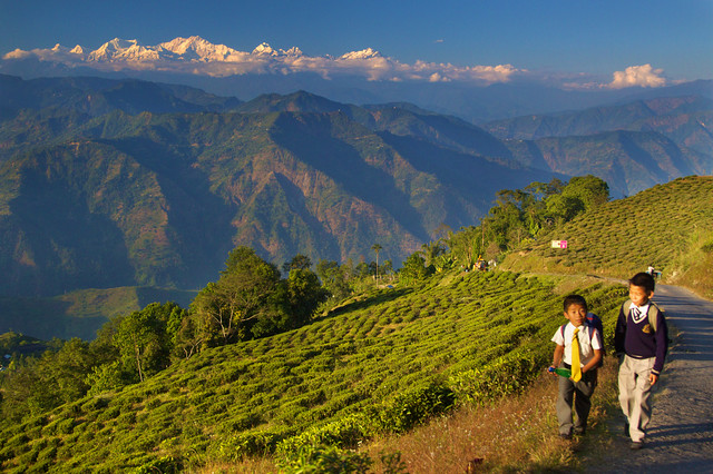 Tea Gardens - Darjeeling, India