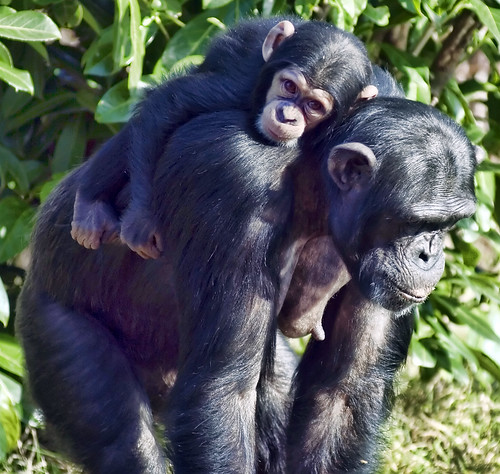 Mother & Baby Chimpanzee