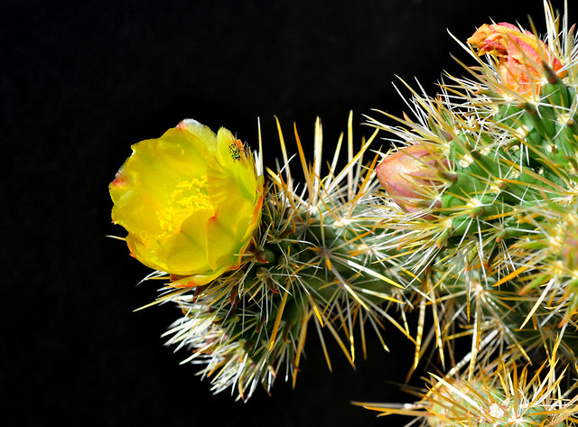 Teddy Bear Cholla Flower