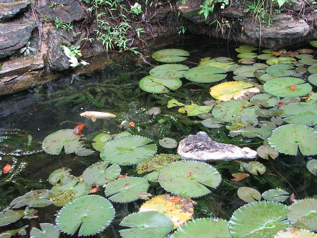 Fake crocodile real fish koi pond at tree tops lodge for Artificial koi fish for ponds