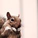 squirrel by Sam Boogie